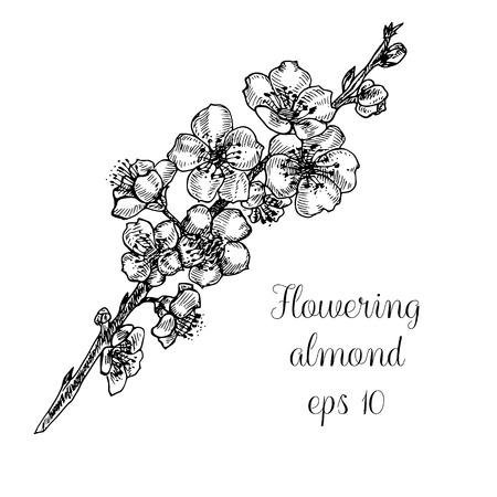 Hand drawn branch of flowering almond
