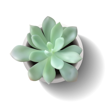 Succulent plant in the pot. Vector illustration isolated on the white background.
