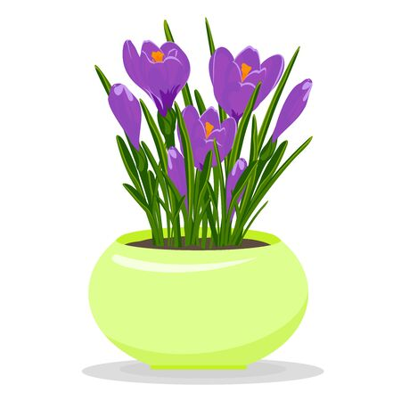 Violet crocuses in yellow flowerpot. Groving up saffron flowers. Vector illustration