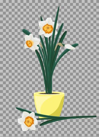 White daffodils in yellow flowerpot. Groving up narcissus flowers. Vector illustration 向量圖像