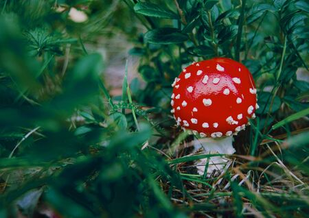 fly agaric, forest, leaves, greens, nature