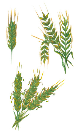 rye: Rye, barley and wheat isolated on white. Watercolor illustration Stock Photo