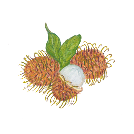 rambutan isolated on the white background. Watercolor illustration