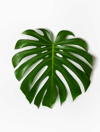 Monstera plant leaf on a white background. Stock Photo