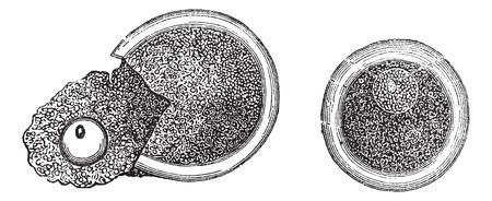 embryology: Embryology, vintage engraved illustration. Trousset encyclopedia (1886 - 1891). Illustration