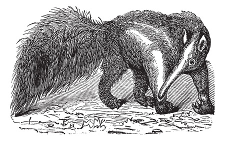 vulnerable: Giant Anteater or Myrmecophaga tridactyla, vintage engraving. Old engraved illustration of a Giant Anteater.