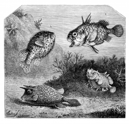 boxfish: 1. Single center in Japan. - 2. Diodon Orb or thorny. - 3. Ostracion has horns. - 4. Oreosome conifer. - Drawing Mesnel, vintage engraved illustration. Magasin Pittoresque 1875.