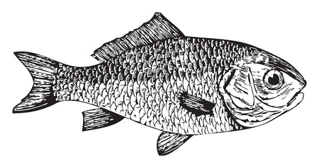 traced: traced illustration of an old engraving from Trousset, of a Goldfish or Cyprinus auratus fish.