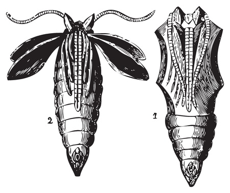 Old engraving of two transformation stages of the chrysalis butterfly. From Trousset Encyclopedia 1886 - 1891 Vector