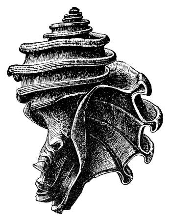 fossil: Ecphora gardnerae es una especie de f�sil de depredador caracol de mar, un molusco gaster�podo marino extinto de la familia Muricidae, los caracoles de roca. Ilustraci�n original creado por JC McConnell, quien muri� en 1904.