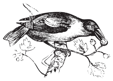 An old engraving or illustration of a hawfinch or grosbeak eating wild berries, converted to vector. From Trousset encyclopedia, Paris 1886-1891 Stock Vector - 13696979