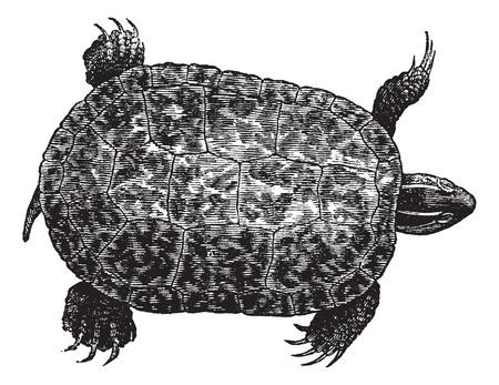 레드 - 배 불 뚝이 거북 (ptychemys RUGOSA), 빈티지 새겨진 된 그림. 레드 - 배 불 뚝이 거북 흰색 배경에 고립입니다. Trousset 백과 사전 (1886-1891).