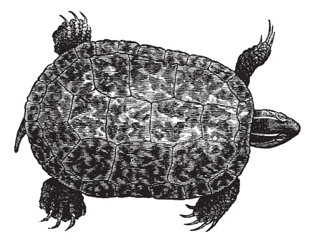 tough: Red-bellied turtle (ptychemys rugosa), vintage engraved illustration. Red-Bellied turtle isolated on white background. Trousset encyclopedia (1886 - 1891).