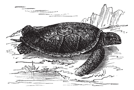 Green Sea Turtle or Chelonia mydas, vintage engraved illustration. Trousset encyclopedia (1886 - 1891). Vector