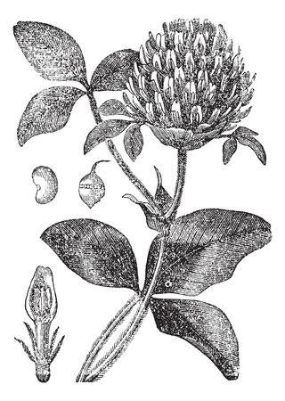 레드 클로버 나 꽃을 보여주는 붉은 토끼풀, 씨앗 포드 (a)와 씨앗 (B), 빈티지 새겨진 그림. Trousset 백과 사전 (1886-1891).