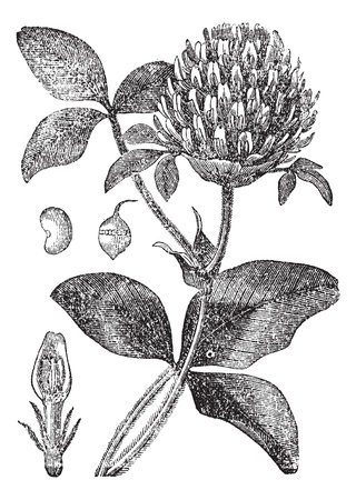herbology: Red Clover or Trifolium pratense, showing flower, seed pod (a) and seed (b), vintage engraved illustration. Trousset encyclopedia (1886 - 1891).