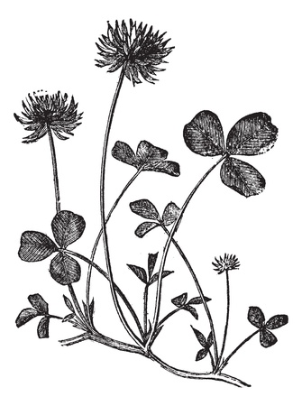 plantas medicinales: El tr�bol blanco y Trifolium repens, cosecha ilustraci�n grabada. Enciclopedia Trousset (1886 - 1891).