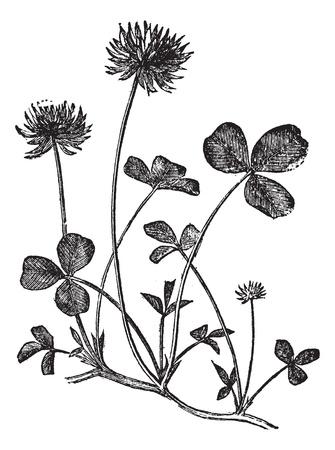 botanika: Jetel plazivý nebo Trifolium repens, vinobraní, Vyřezávat, ilustrace. Trousset encyklopedie (1886-1891).