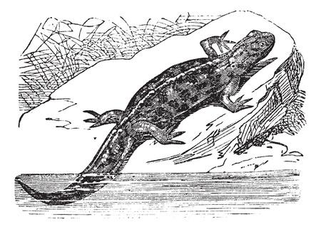 tadpole: Smooth Newt or Lissotriton vulgaris, vintage engraved illustration. Trousset encyclopedia (1886 - 1891).
