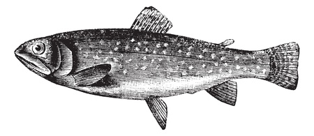 Brown Trout or Salmo trutta, vintage engraved illustration. Trousset encyclopedia (1886 - 1891). Vector