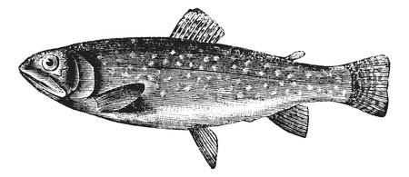truchas: Trucha marr�n o Salmo trutta, cosecha ilustraci�n grabada. Enciclopedia Trousset (1886 - 1891). Vectores