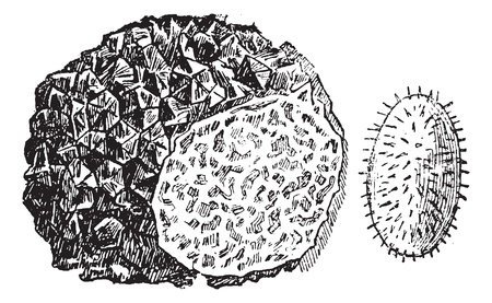Truffle or Tuber sp., vintage engraved illustration. Trousset encyclopedia (1886 - 1891).