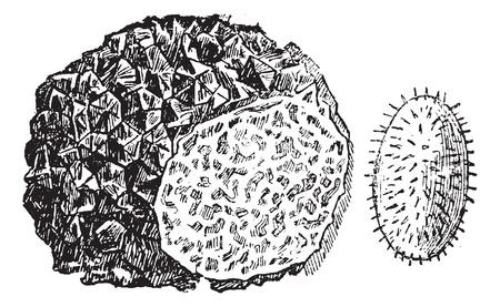 Trufa Tuber sp o., Cosecha ilustración grabada. Enciclopedia Trousset (1886 - 1891).