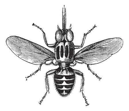 infect: Tsetse Fly or Glossina sp., vintage engraved illustration. Trousset encyclopedia (1886 - 1891). Illustration
