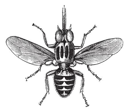 Tsetse Fly or Glossina sp., vintage engraved illustration. Trousset encyclopedia (1886 - 1891). Illusztráció