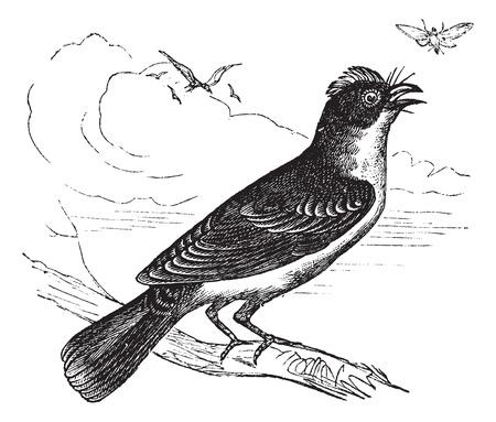 arboreal: Eastern Kingbird or Tyrannus tyrannus, vintage engraved illustration. Trousset encyclopedia (1886 - 1891).