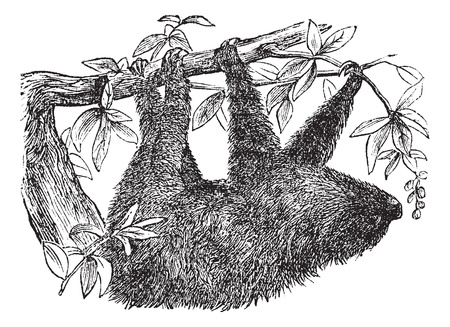 Two-toed Sloth or Choloepus didactylus, vintage engraved illustration. Trousset encyclopedia (1886 - 1891). Stock Vector - 13708137