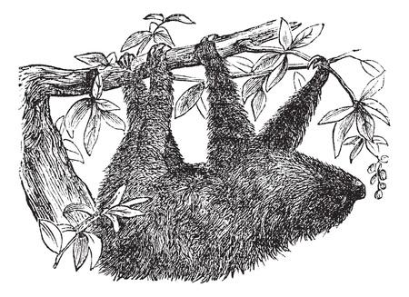 arboreal: Two-toed Sloth or Choloepus didactylus, vintage engraved illustration. Trousset encyclopedia (1886 - 1891).