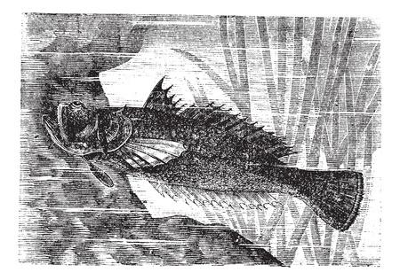 Stargazer or Uranoscopus sp., vintage engraved illustration. Trousset encyclopedia (1886 - 1891). Stock Vector - 13708149