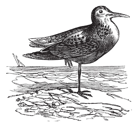 migrate: White-rumped Sandpiper or Calidris fuscicollis, vintage engraved illustration. Trousset encyclopedia (1886 - 1891).