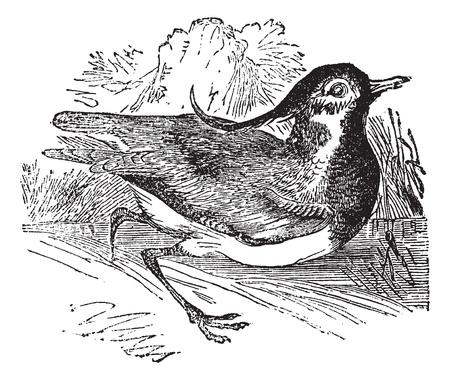 넘어 가고: 북부 댕기 물떼새 또는 Vanellus vanellus, 빈티지 새겨진 그림. Trousset 백과 사전 (1886-1891).