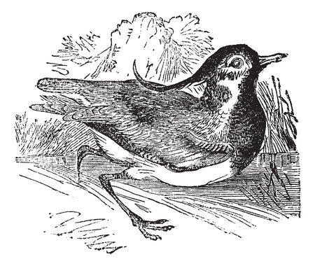 wader: Northern Lapwing or Vanellus vanellus, vintage engraved illustration. Trousset encyclopedia (1886 - 1891).