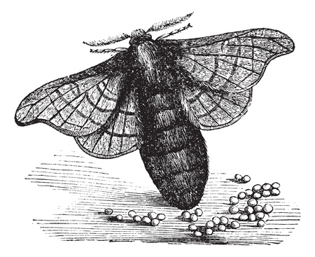 larvae: Silkmoth or Bombyx mori, showing female laying eggs, vintage engraved illustration. Trousset encyclopedia (1886 - 1891).