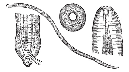 esophagus: Spiruroid Worm or Spirocerca lupi, showing (B) head, (C) tail, and (D) mouth, vintage engraved illustration. Trousset encyclopedia (1886 - 1891).