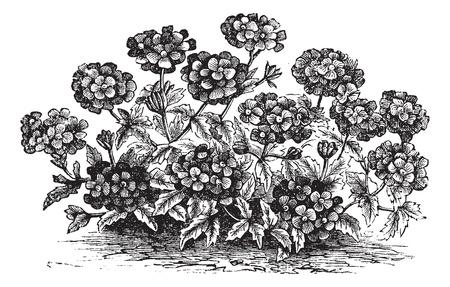 Verbena of IJzerhard Verbena of sp., Vintage gegraveerde illustratie. Trousset encyclopedie (1886 - 1891). Stock Illustratie
