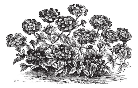 herbology: Verbena or Vervain or Verbena sp., vintage engraved illustration. Trousset encyclopedia (1886 - 1891).