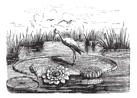 victoria: Victoria or Victoria amazonica, vintage engraved illustration. Trousset encyclopedia (1886 - 1891). Illustration