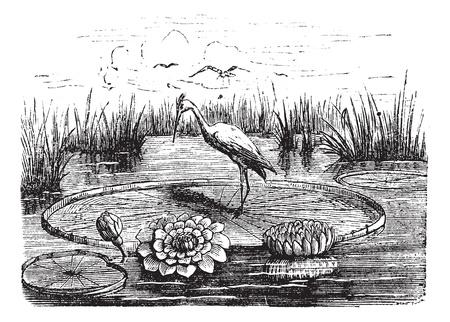 Victoria or Victoria amazonica, vintage engraved illustration. Trousset encyclopedia (1886 - 1891). Ilustração