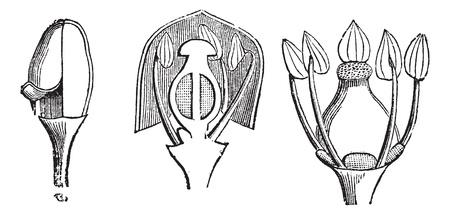 vitis: Grape Vine or Vitis vinifera, showing young flower (1), vertical section of flower (2), flower without corolla (3), vintage engraved illustration. Trousset encyclopedia (1886 - 1891).