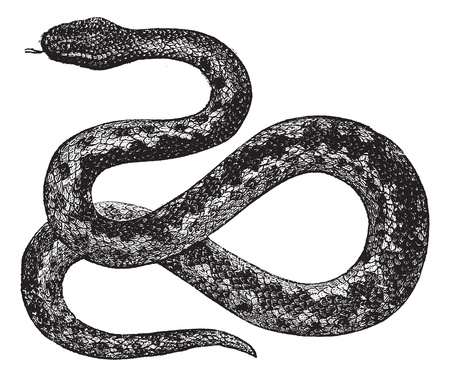 adder: European Viper or Vipera berus, vintage engraved illustration. Trousset encyclopedia (1886 - 1891).