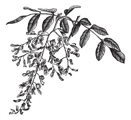 duramen: América Yellowwood o kentukea Cladrastis, mostrando flores, cosecha ilustración grabada. Enciclopedia Trousset (1886 - 1891).