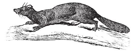 terrestrial mammal: American Mink or Neovison vison, vintage engraved illustration. Trousset encyclopedia (1886 - 1891). Illustration