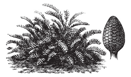 dioecious: Zamia integrifolia or Coontie or Florida arrowroot or Wild sago, vintage engraving  Old engraved illustration of Zamia integrifolia and its fruit  Illustration