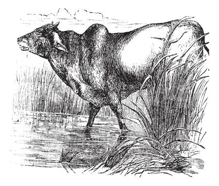 humped: Zebu or Bos primigenius indicus or Bos taurus indicus or Humped cattle or Indicus cattle or Cebu or Brahmin cattle, vintage engraving  Old engraved illustration of Zebu  Illustration