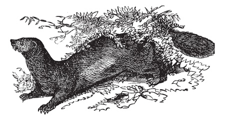 marten: Sable or Martes zibellina, vintage engraving  Old engraved illustration of Sable running in the meadow