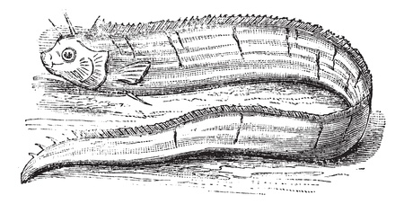 bony: King of herrings or Regalecus glesne or Giant oarfish or Cephalepis octomaculatus or Cepola gladius or Gymnetrus ascanii or Regalecus caudatus or Gymnetrus gladius or Gymnetrus grillii or Gymnetrus longiradiatus or Regalecus pacificus, vintage engraving